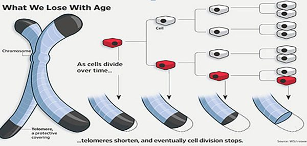 Telomere Shortening